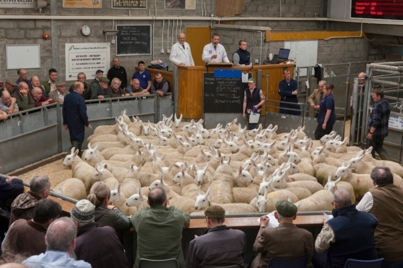 Caithness - Sale of Store Cattle - Monday 27th September 2021