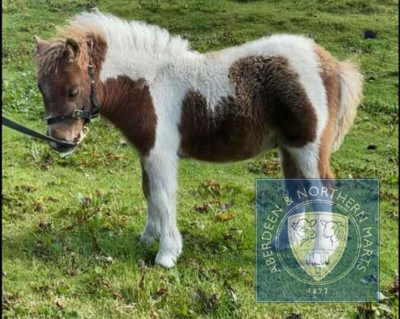 Sparko of Berry (BJ0335) Skewbald Miniature Colt Foal 22nd May 2021