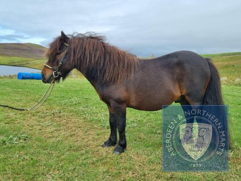 """Lunna Denby (BA0056/S17) Bay 39"""" Licensed Stallion 6th May 2012"""