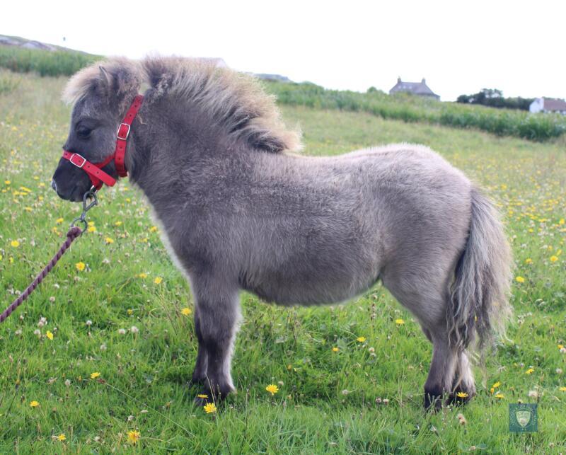 Midgarth Charlotte (BJ0261) Blue Dun Miniature Filly Foal 22nd April 2021