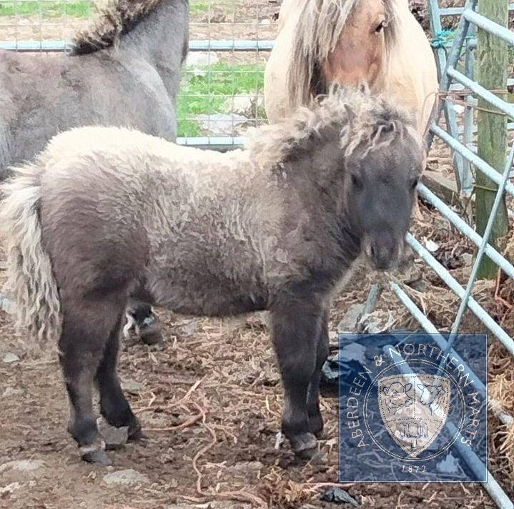 Simonside Braveheart (BJ0180) Silver Dun Miniature Colt Foal 24th May 2021