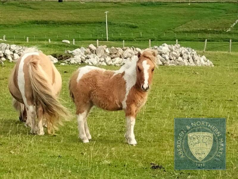 Simonside Lorenzo (BJ0182) Cream Dun Skewbald Miniature Colt Foal 30th April 2021