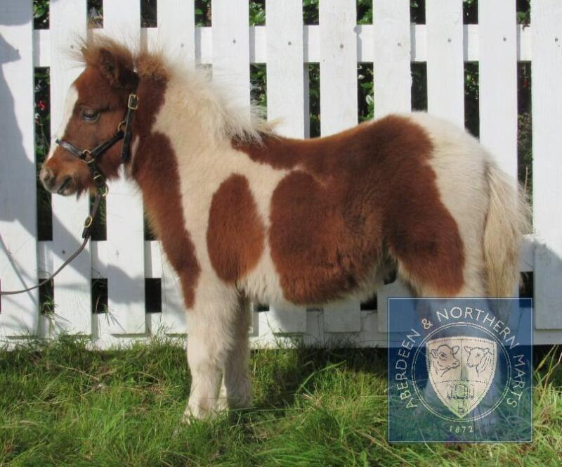 Breckenlea Reveller (BJ0258) Skewbald Miniature Colt Foal 25th May 2021
