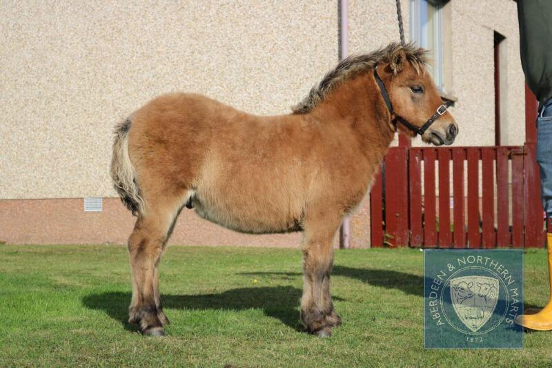 Burnside Olympus (BJ0421) Bay Dun Standard Colt Foal 13th May 2021