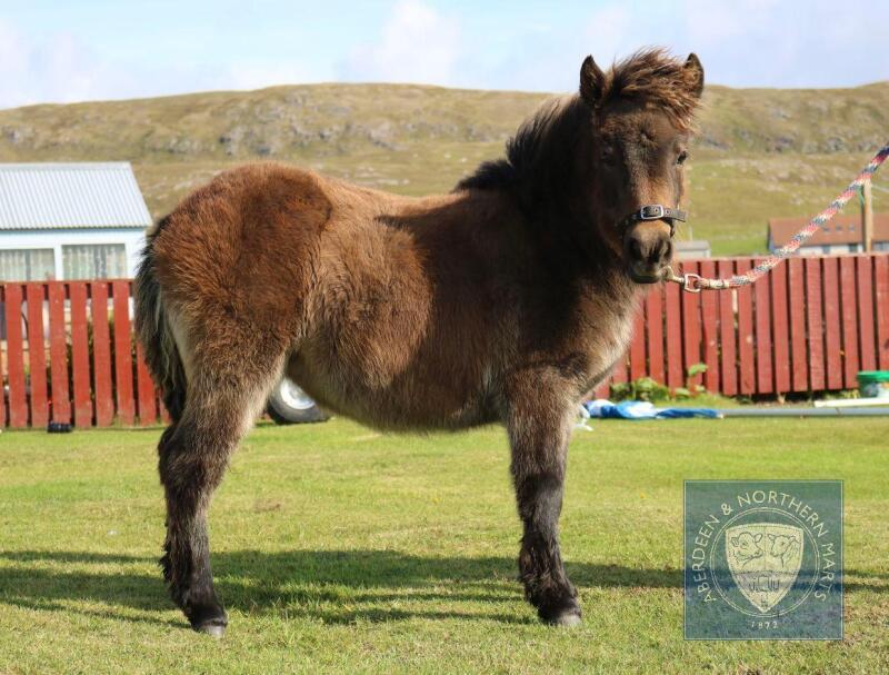 Burnside Marnie (BJ0419) Dark Bay/Brown Standard Filly Foal 25th April 2021