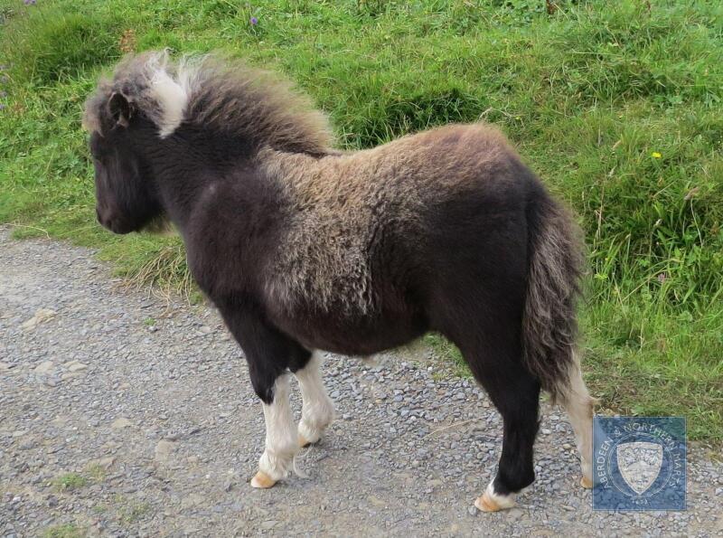 Foula Zula (BJ0110) Piebald Miniature Filly Foal 12th May 2021