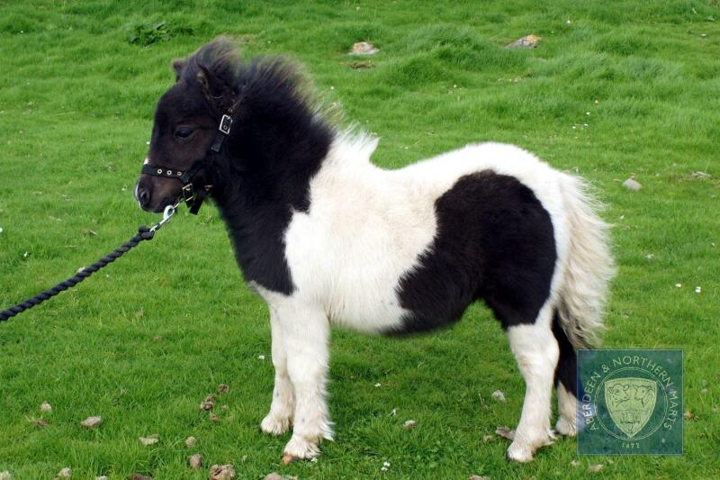 Brygarth Nirvana (BJ0496) Piebald Miniature Filly Foal 16th May 2021