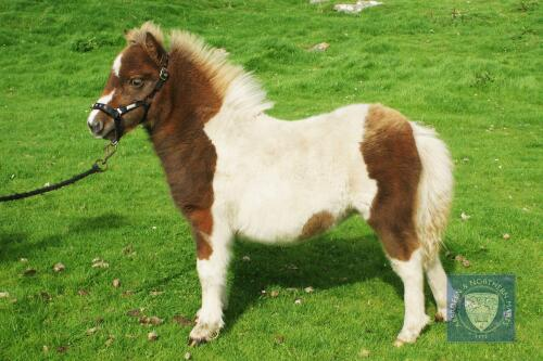 Brygarth Narnia (BJ0503) Skewbald Standard Filly Foal 20th May 2021