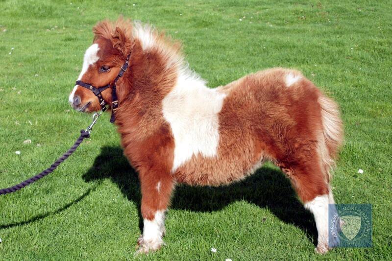 Brygarth Nitali (BJ0501) Skewbald Miniature Filly Foal 26th May 2021