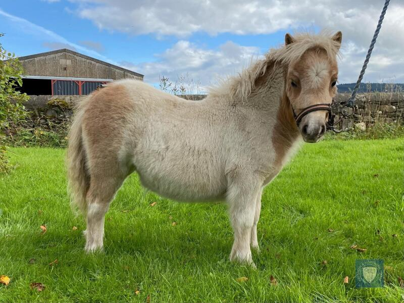 Palomino & White MINIATURE – FILLY FOAL - DOB: 12th May 2021