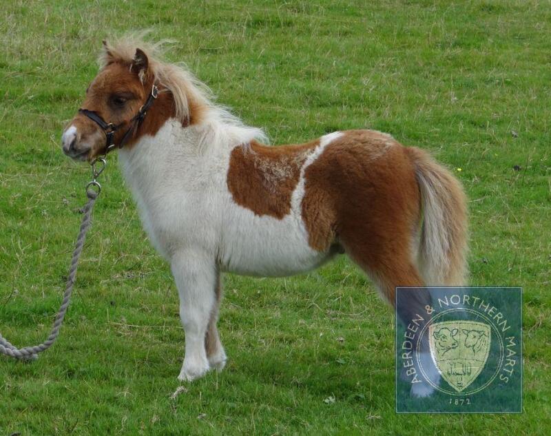 Robin's Brae Coubal (BJ0650) Skewbald Miniature Colt Foal 11th May 2021