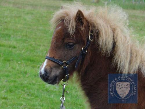 Robin's Brae Calista (BJ0645) Skewbald Miniature Filly Foal 11th May 2021